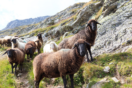 hohe tauern: Flock of sheep in the mountains, Hohe Tauern Alps, Austria Stock Photo