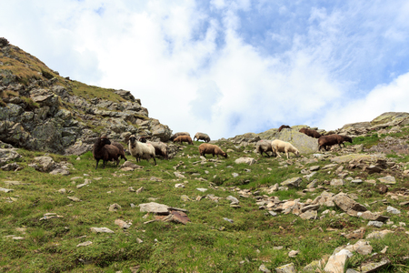 tauern: Flock of sheep in the mountains, Hohe Tauern Alps, Austria Stock Photo