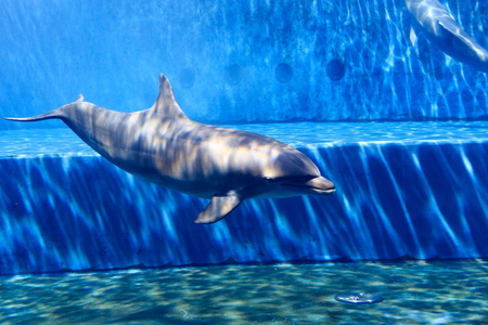 oceanic: Oceanic dolphin in large aquarium with blue water