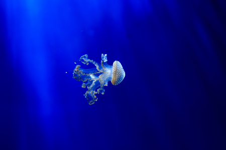 sea poison: Jellyfish floating in aquarium with blue water Stock Photo