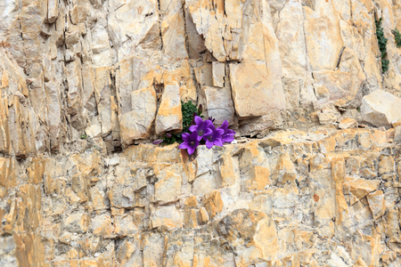 crevice: Purple flower blossom Dolomite bellflower (Campanula morettiana) in mountain rock crevice, South Tyrol, Italy