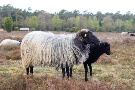 Moorland sheep Heidschnucke and young lamb in Luneburg Heath near Undeloh and Wilsede, Germany Stock Photo