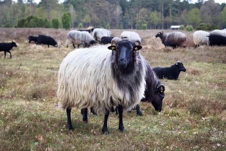 Moorland sheep Heidschnucke in Luneburg Heath near Undeloh and Wilsede, Germany