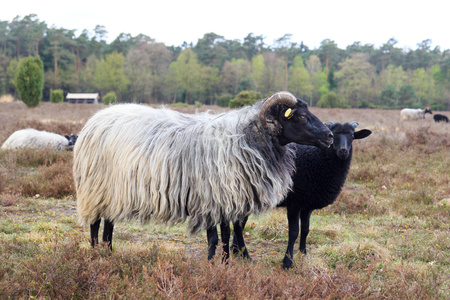 Moorland sheep Heidschnucke and young lamb in Luneburg Heath near Undeloh and Wilsede, Germany Archivio Fotografico