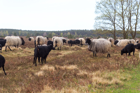 Flock of moorland sheep Heidschnucke with young lambs in Luneburg Heath near Undeloh and Wilsede, Germany Stock Photo