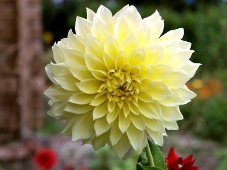Gartenblume Dahlie