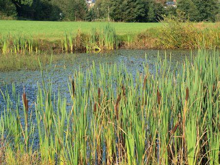 feld: Kleiner Teich mit Schilf