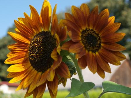 pflanzen: Sonneblumen im Garten