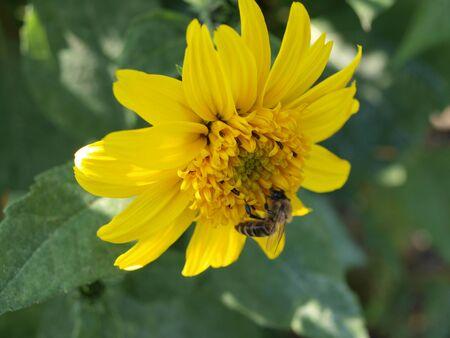 mit: Ringelblume gelb mit wespe