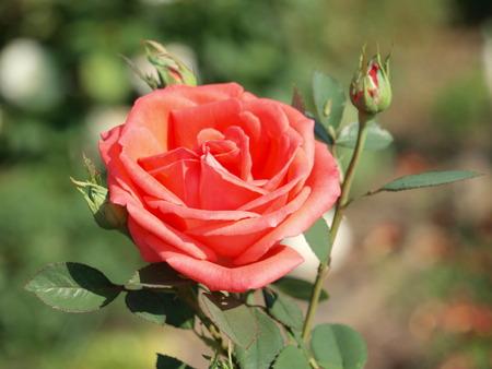 pflanzen: Rote Rose im Garten