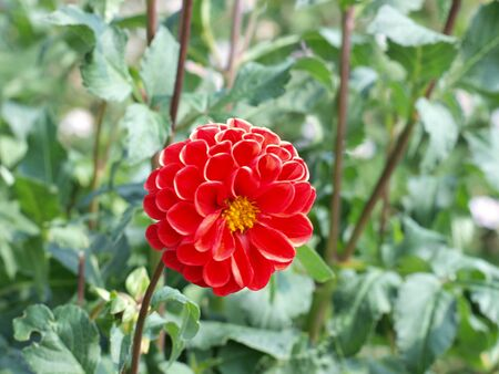 Rote Dahlie im Garten