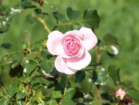 pflanzen: Rose zartrosa