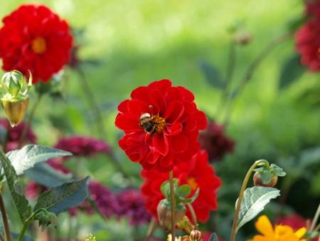 Rote Dahlie mit Wespe