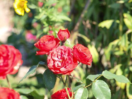 Rote Rosen im Garten