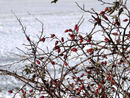 Hagebutten im Winter Standard-Bild - 76410412