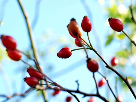 Hagebutten im Herbst Stock Photo