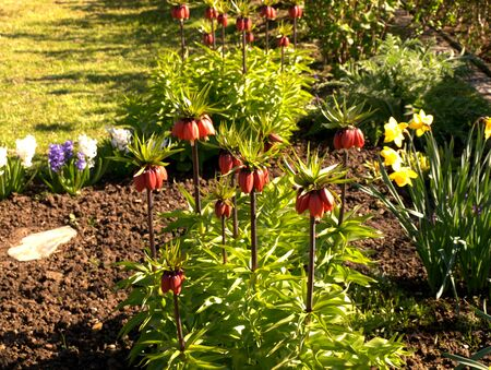 blte: Kaiserkrone in der Bl?te im Garten