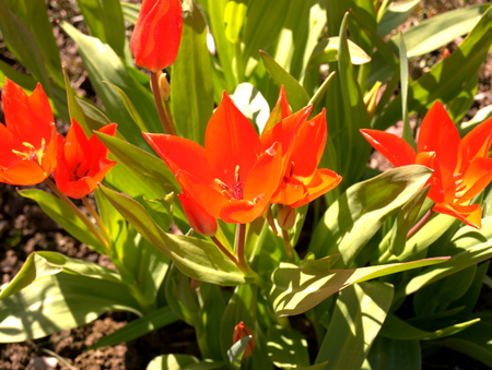 rote Tulpen im Garten Stock Photo
