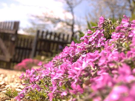 Flower carpet in the garden