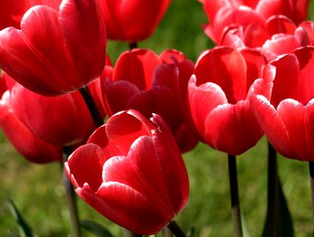 Rote Tulpen im Garten