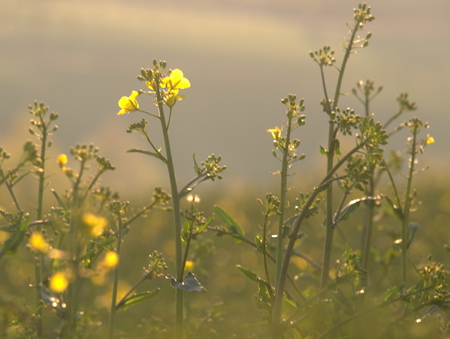 春の Rapsfeld 写真素材