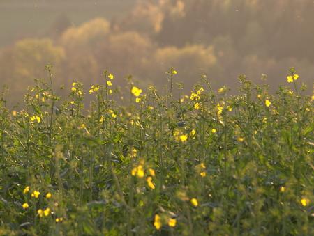 Rapsfeld flowers in the spring