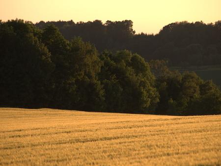 Getreidefeld mit Wald im HIntergrund Stock Photo