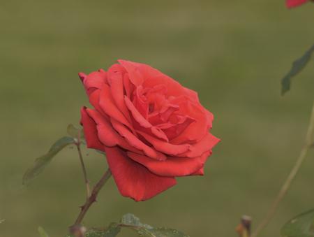 Roses profile pics