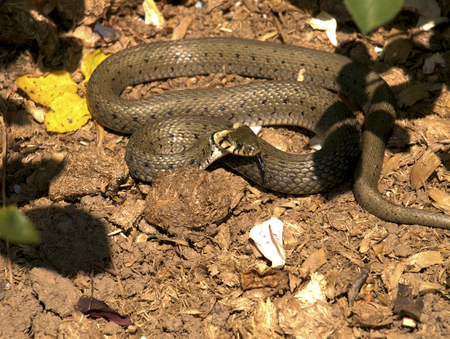 Grass Snake in the garden Stock Photo