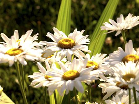 Margarite, Leucanthemum vulgare