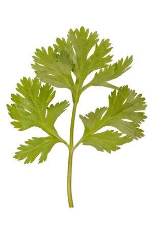 parsley isolated Stock Photo - 13951817