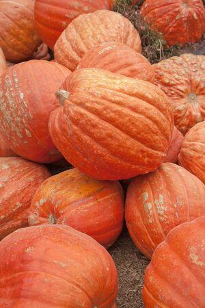 pumkin orange vegetable halloween thanksgiving harvest  farm