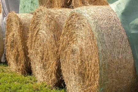 dry golden Hay bales on  farm land