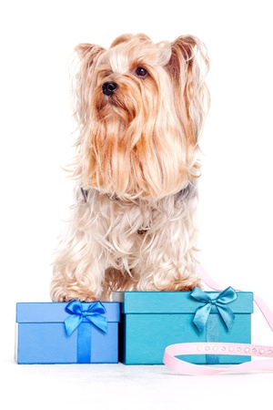 yorkshire terrier with gift boxes on christmas photo