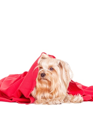 cute yorkshire terrier puppy dog under a blanket photo