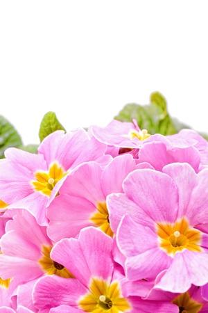 polyanthus: nice pink primeroses in spring time for easter