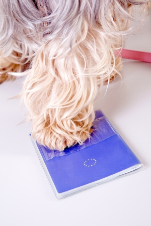 holiday pets: animal pet passport with yorkshire terrier dog