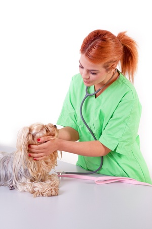 veterinarian with yorkshire terrier puppy photo