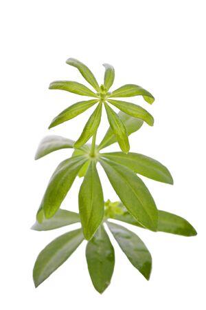 woodruff: green aromatic woodruff leaf herb