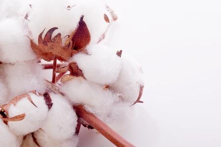 planta de algodon: blanco Planta de algod?n suave