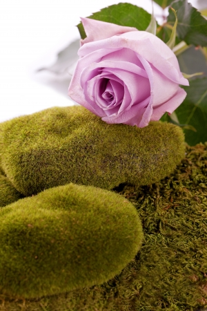 purple rose and green  moss rock Stock Photo