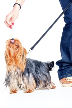yorkshire terrier on a leash