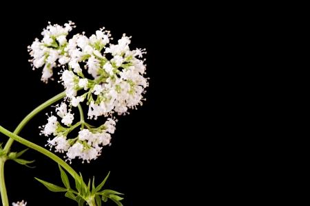 valerian plant: white valerian herb plant  blossom