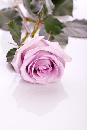 beautiful pink rose on bright