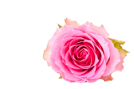 withe background: single pink rose isolated for withe background