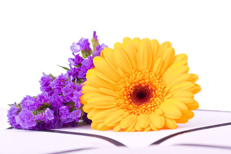 withe: yellow marguerite and pink flower for a withe background