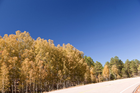 foliage of  aspen in colorado mountains photo