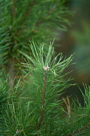 Fir branches photo