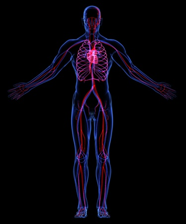 Human Circulatory System Stock Photo - 18292533