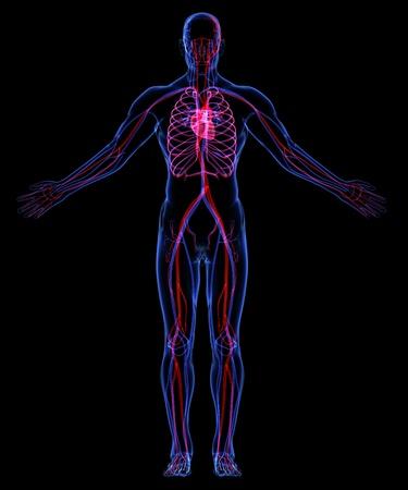 Human Circulatory System Stock Photo - 18292533